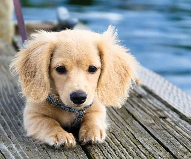 Blonde Dachshund For Sale Dachshund Breed Dachshund Puppy