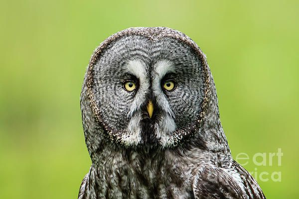 A Great Grey Owl (Strix Nebulosa) shows his beautiful face in this portrait when perching on a roundpole with a nice defocused background.