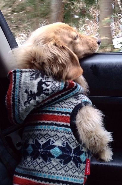 """""""I stands while my chin rests!"""" #dogs #pets #LonghairedDachshunds Facebook.com/sodoggonefunny"""