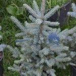 Mavi ladin (Picea pungens), çamgiller (Pinaceae) familyasından 25-30 m'ye kadar boylanan ve 1,5 m'ye kadar çap yapabilen ladin türdür.