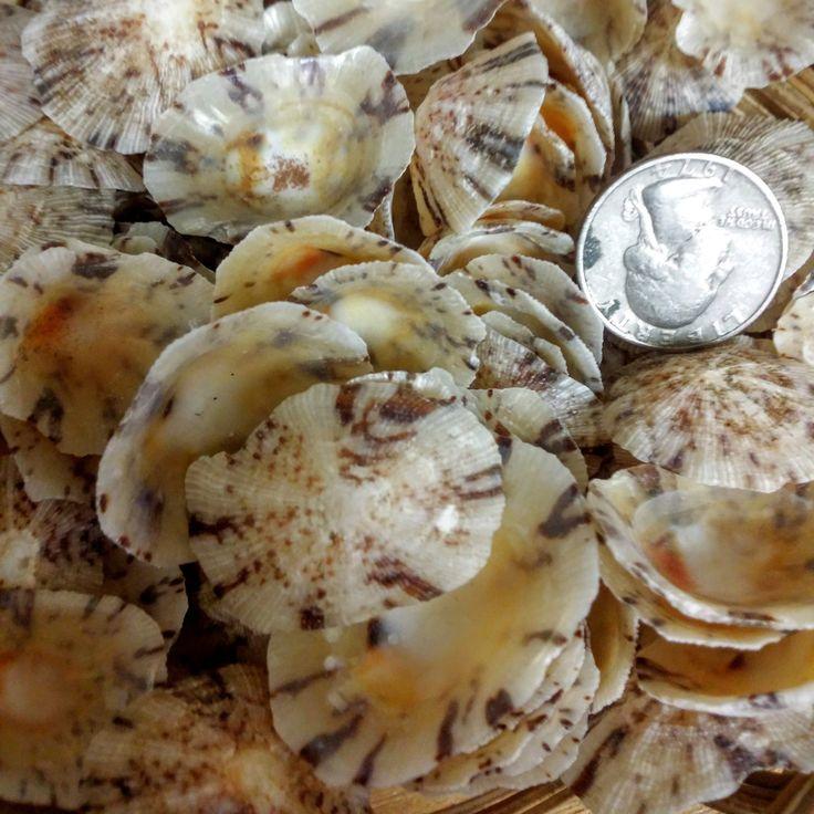 Brown Golden Ivory Limpet Shells, Coastal Arts Crafts Supplies, Loose Seashells Island Ocean Decor, Natural Jewelry Candle Ideas Inspiration by seashellsbyseashore on Etsy
