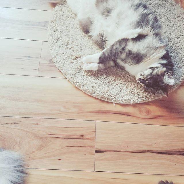 .。*・゚゚ ゆるい この感じ ほっとする  #猫のしっぽ#あおちゃんとちび#グレー猫#長毛猫#三毛猫#ひめ#お昼寝#元捨て猫#愛猫#猫#ねこ#にゃんこ#ネコ#Cats#猫部屋#猫多頭飼い#猫7匹#猫のいる暮らし#猫と暮らす#ネコスタグラム#ねこすたぐらむ#ニャンスタグラム#にゃんすたぐらむ#catstagram#にゃんだふるらいふ#猫部#ふわもこ部#猫好きさんと繋がりたい#猫大好き#やっぱり猫が好き
