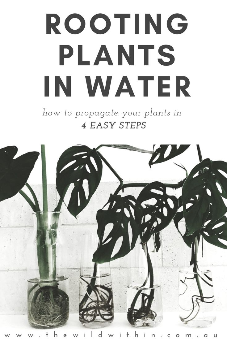 How to Root Plants in Water in 4 Easy Steps | Visit www.thewildwithin.com.au  water propagation, plant care, indoor plants