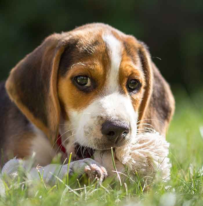 Your Beagle Puppy Everything You Need To Know Lilly Beagle