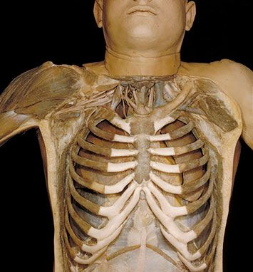 25+ best ideas about human ribs on pinterest | rib cage, body, Skeleton