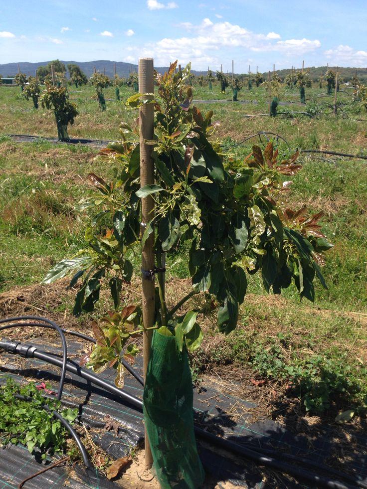 Arbol aguacate floracion brotacion arboles aguacate for Caracteristicas de arboles frondosos