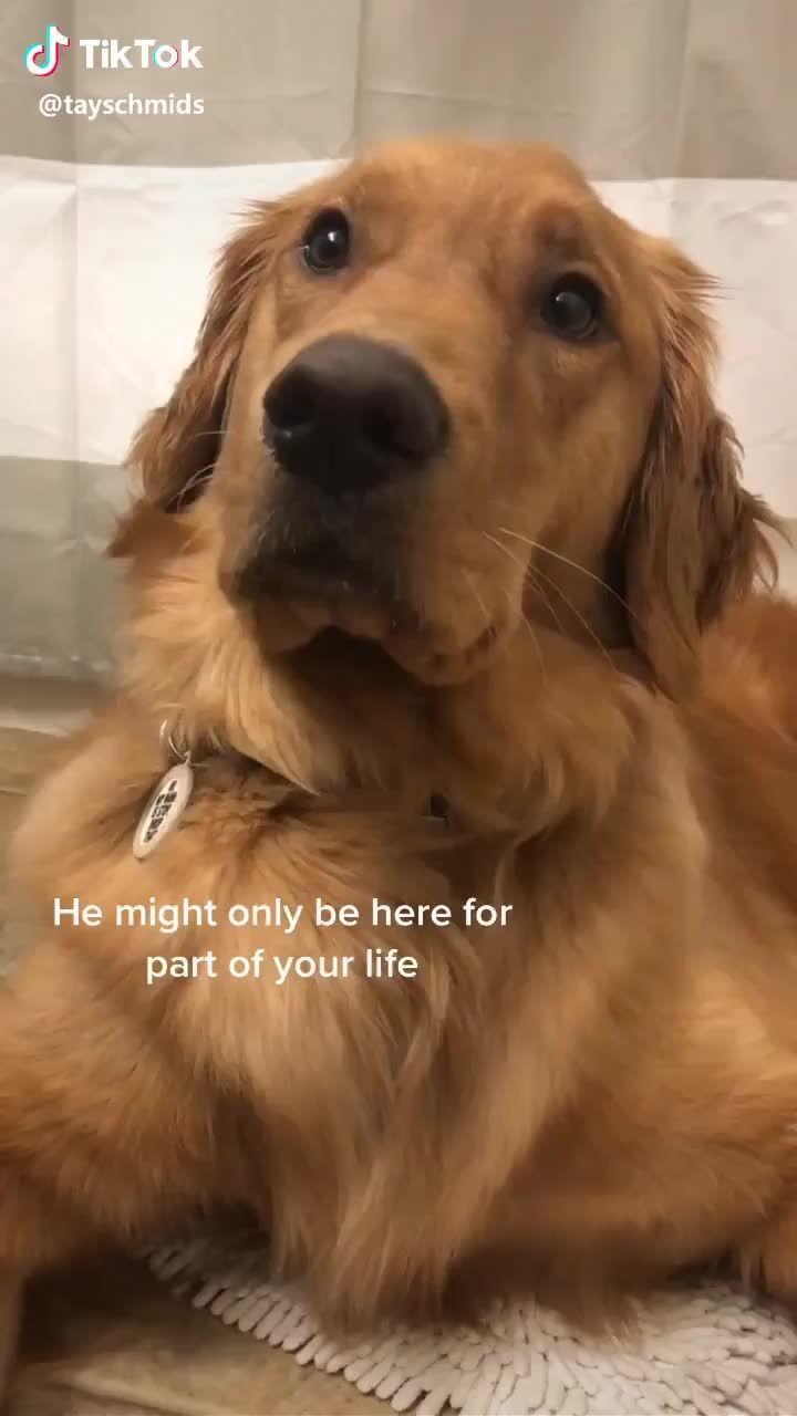 Funny Golden Retriever Video Funny Animals Videos Funny Dog Videos