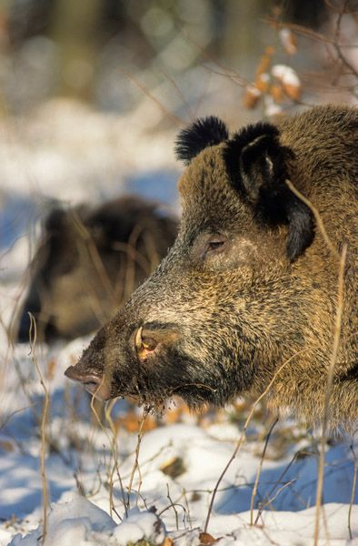 Wild Boar tusker in winter looking alert to the forest edge - (Wild Hog - Feral Pig)