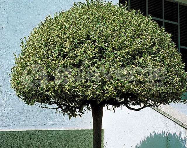 Aligustre variegado-Ligustrum japonicum 'Variegata'
