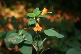 Jewel Weed is a Natural Cure for Poison Ivy