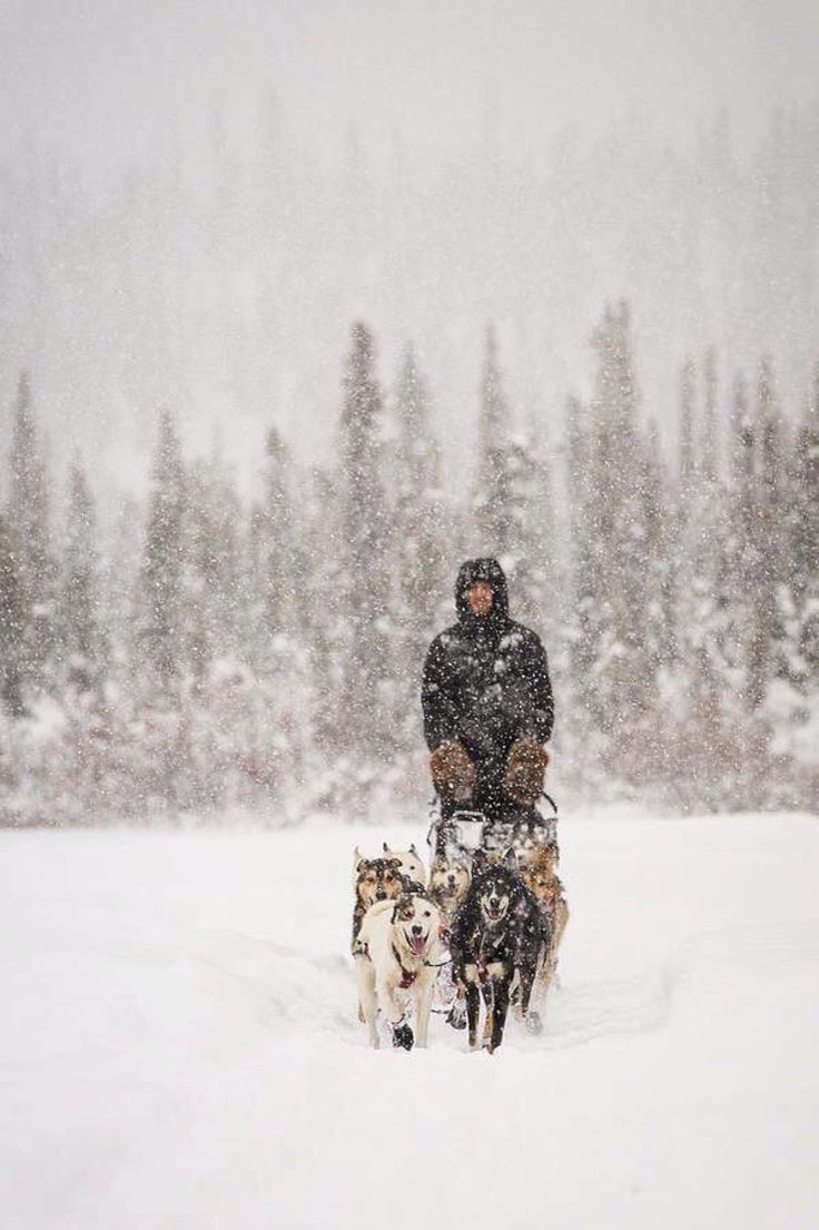 26 best Dog Sledding images by Debbie Diaz on Pinterest | Sled dogs ...