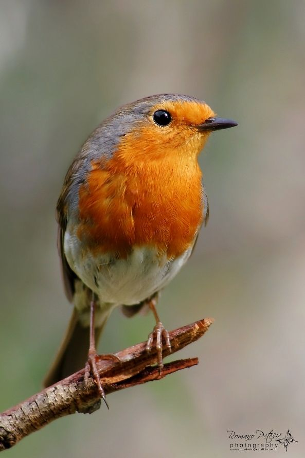 Robin (reminds me of the robin in my favorite movie of all time 1993's version of The Secret Garden)