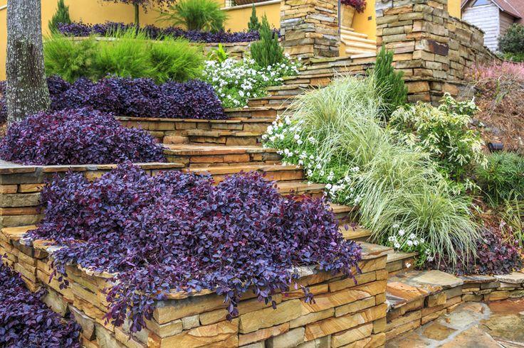 Best 25 purple pixie ideas on pinterest for Purple low maintenance plants