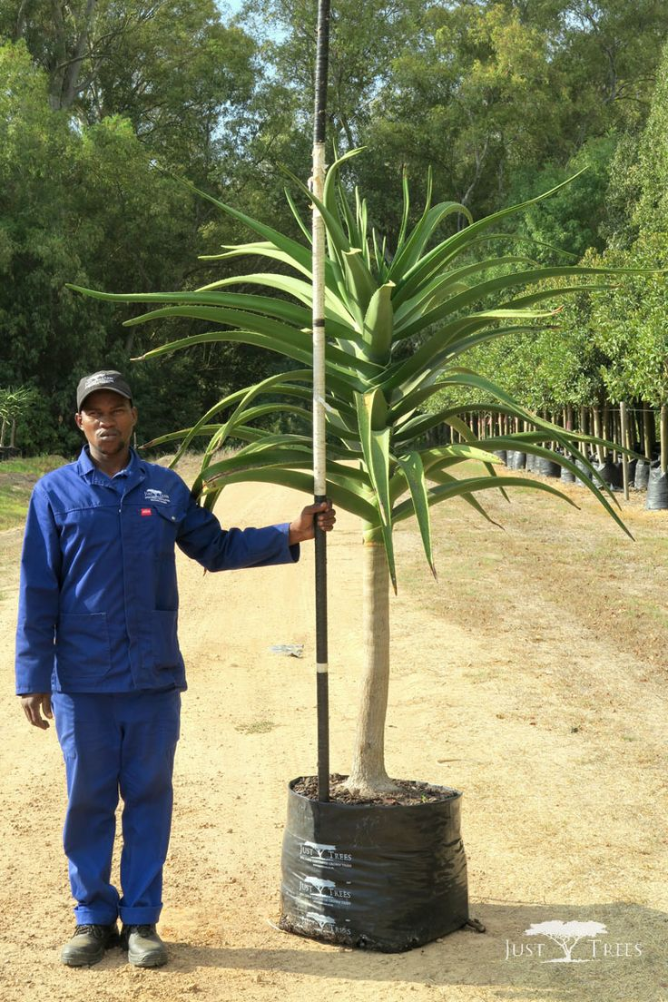 100L Tree Aloe, a striking and sculptural tree that creates an effective focal point in any landscape. It grows well on slopes, for drainage is key and thrives well under cultivation.