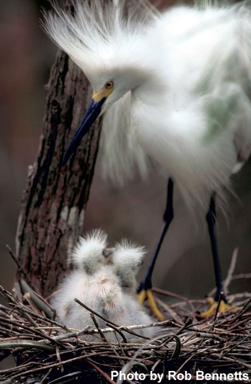 Snowy Egret - what is it about mothers and babies anyway?