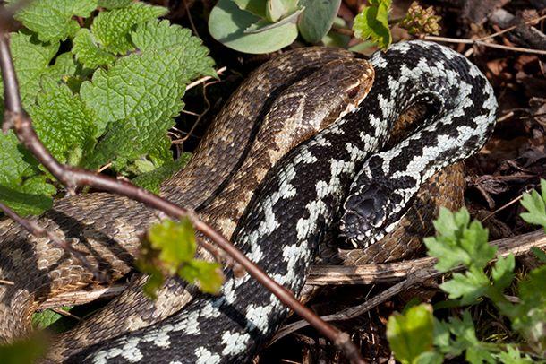 Kyy vai rantakäärme? Tunnista käärmeet | Suomen Luonto