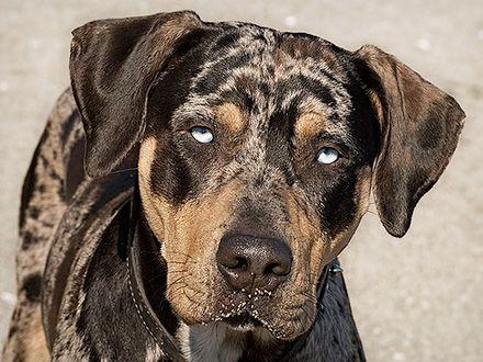 Conheça a raça Cão Leopardo Catahoula