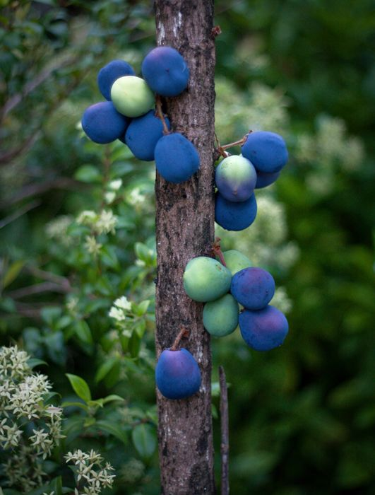 K so I know these are plums, but actually their blueberries are going to be this shape, color, and size.