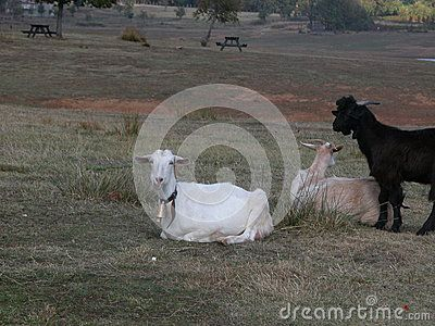 Three Greek goats resting near picnic area in central Greece in autumn. White goat has a traditional Greek goatbell on its collar.