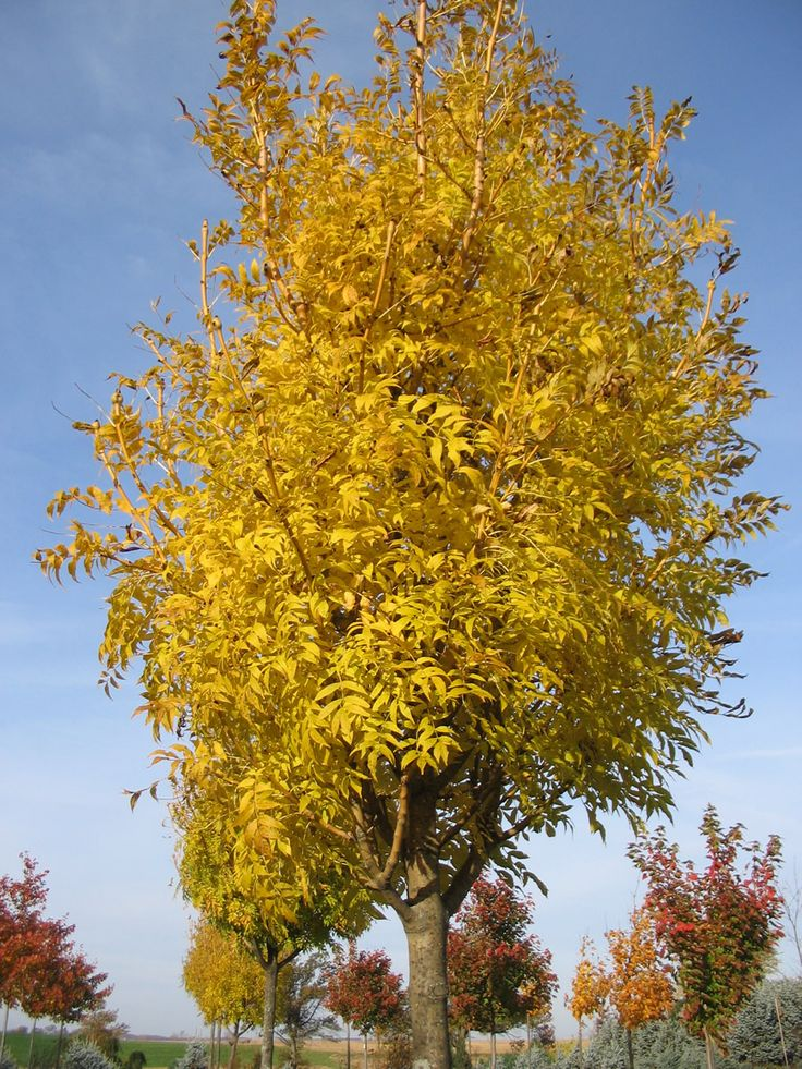 Fraxinus Excelsior Aurea Golden Ash Tree Blerick Trees