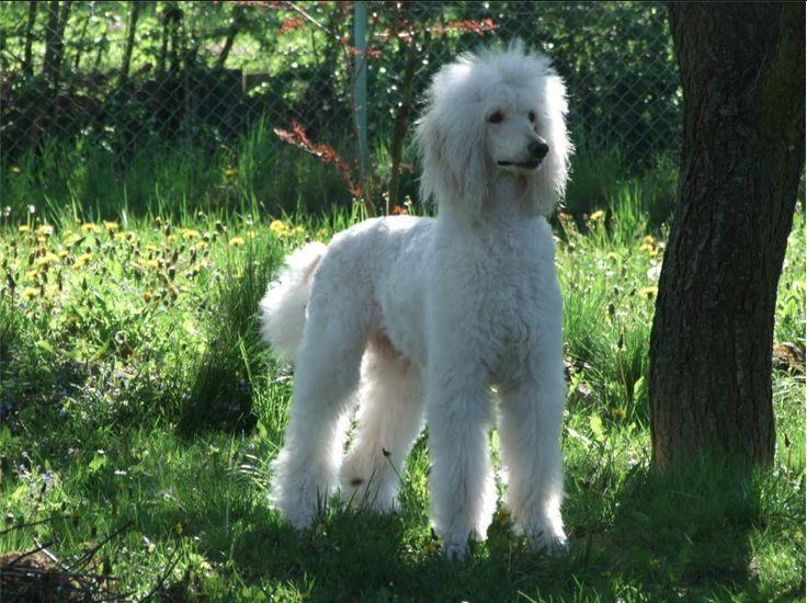 Beautiful white standard poodle.
