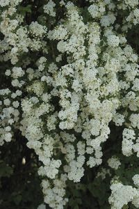 Bridal Wreath Spirea - one of my all time favorite flowering shrubs.  Used to use the flowers in May Day baskets!