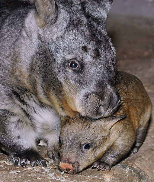 Brookfield Zoo welcomed a new Southern hairy-nosed wombat into their family recently. These adorable creatures are rather rare -- there are only 10 in four North American zoos.