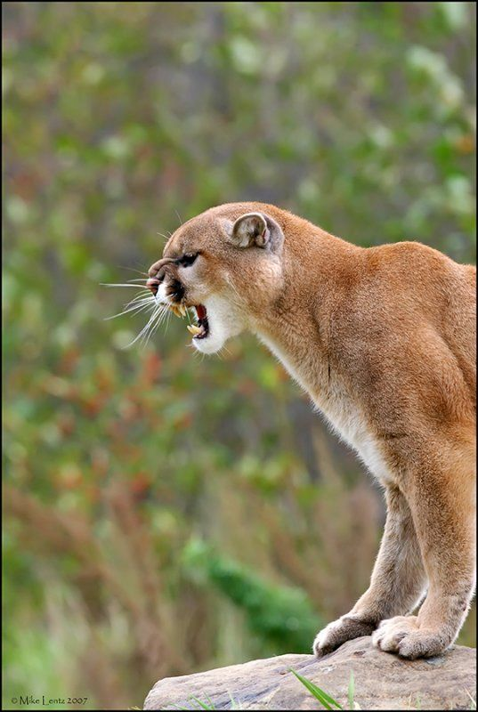 Cougar and her prey - 1 2