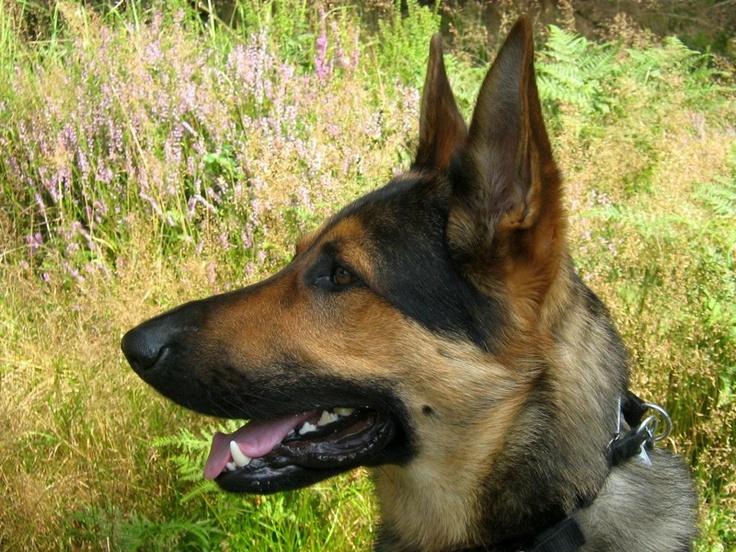 Odin am 27.08.2012 Hunde, Schäferhunde, Schaefer