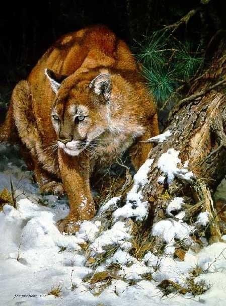 john seereylester winter ���� mountain lion 15