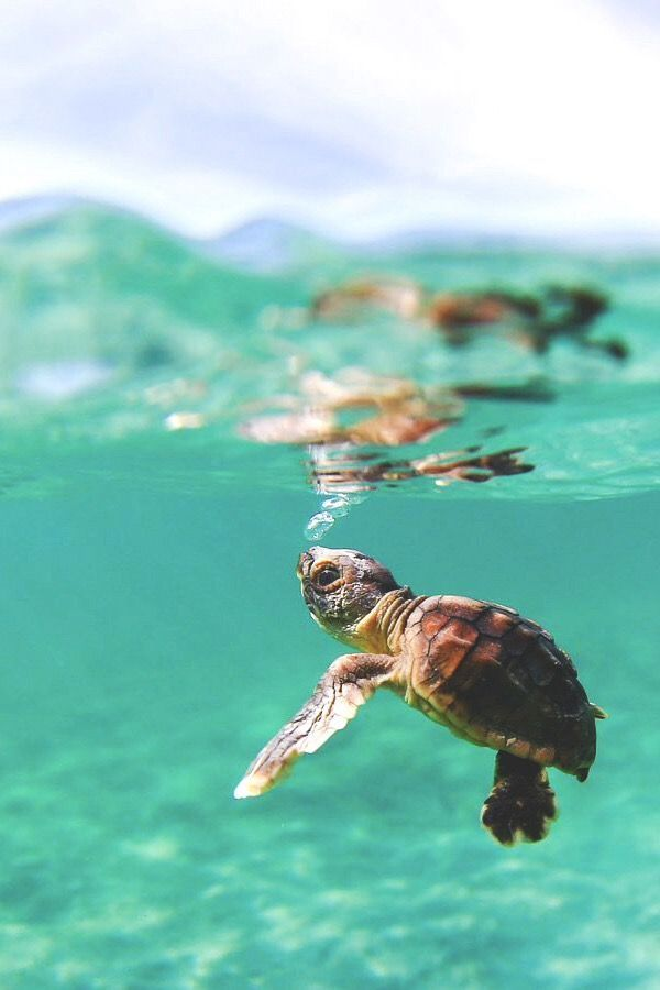 While in Hawaii I was told this is my my spirit animal, Honu (sea turtle). I eve…