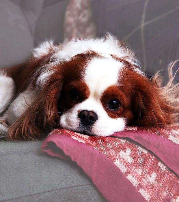 L'épagneul nain anglais était le chien préféré du roi Charles II d'Angleterre