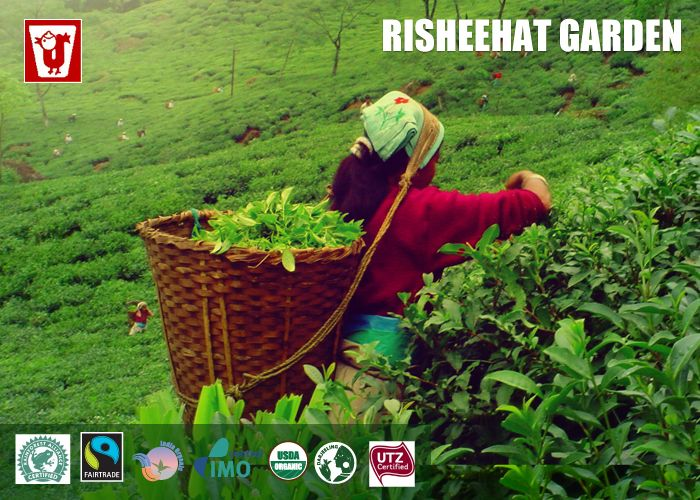 #Risheehat Tea Estate, located in #Darjeeling