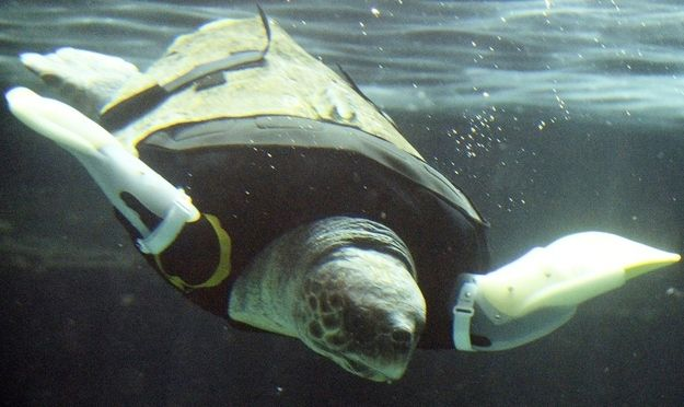 A sea turtle got attacked by a shark so some people made her prosthetic flippers!