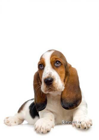 Breed Of Hush Puppies Dog