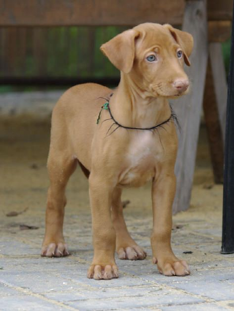 Egyptian pharaoh hound - look at the legs and feet on this pup, wow!