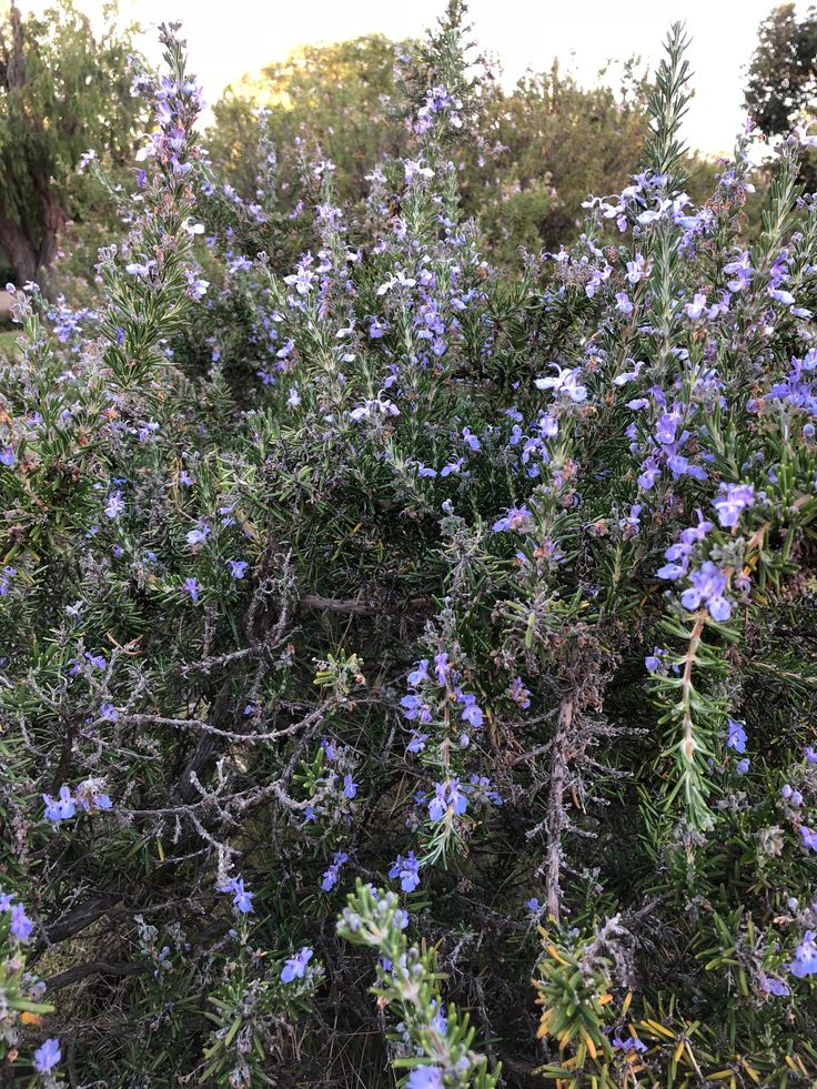 Rosemary #Flowering #Perth #January
