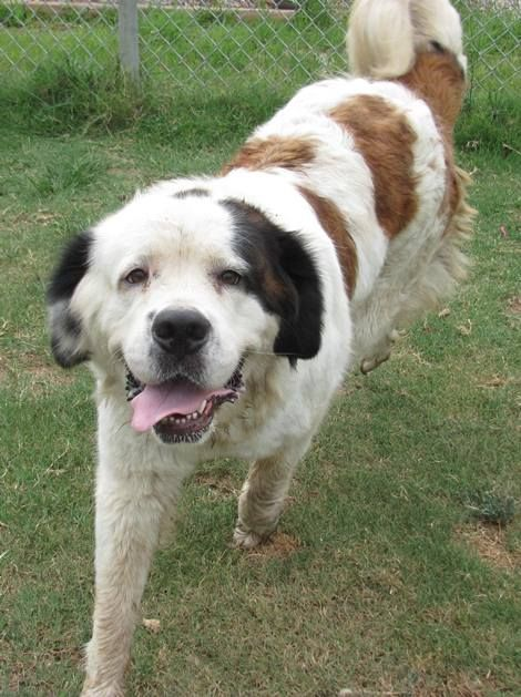 bernard new to rescue   under evaluation big dogs huge paws inc