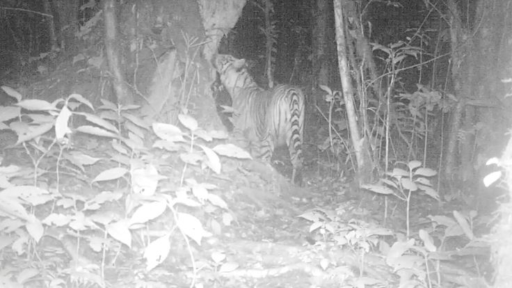 It's International #Tiger Day this Friday! Look who walked past one of our camera traps... #FromTheField https://www.youtube.com/watch?v=acinrRKLIW8&index=2&list=PLxs1X56SvmClp1oCHTz5iP56b6FNyPHL4