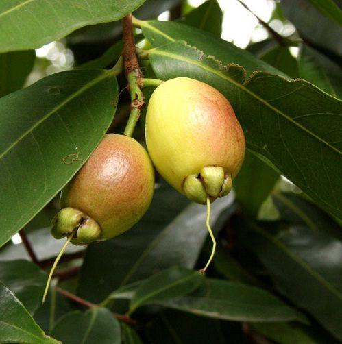 Tanaman Jambu Mawar (Rose Apple)