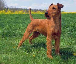 Firehouse Dog Movie | Irish Dog Breeds | Modern Dog magazine