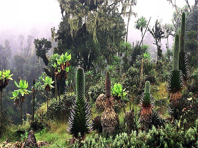 : Exotic Plant Life #Ruwenzori's