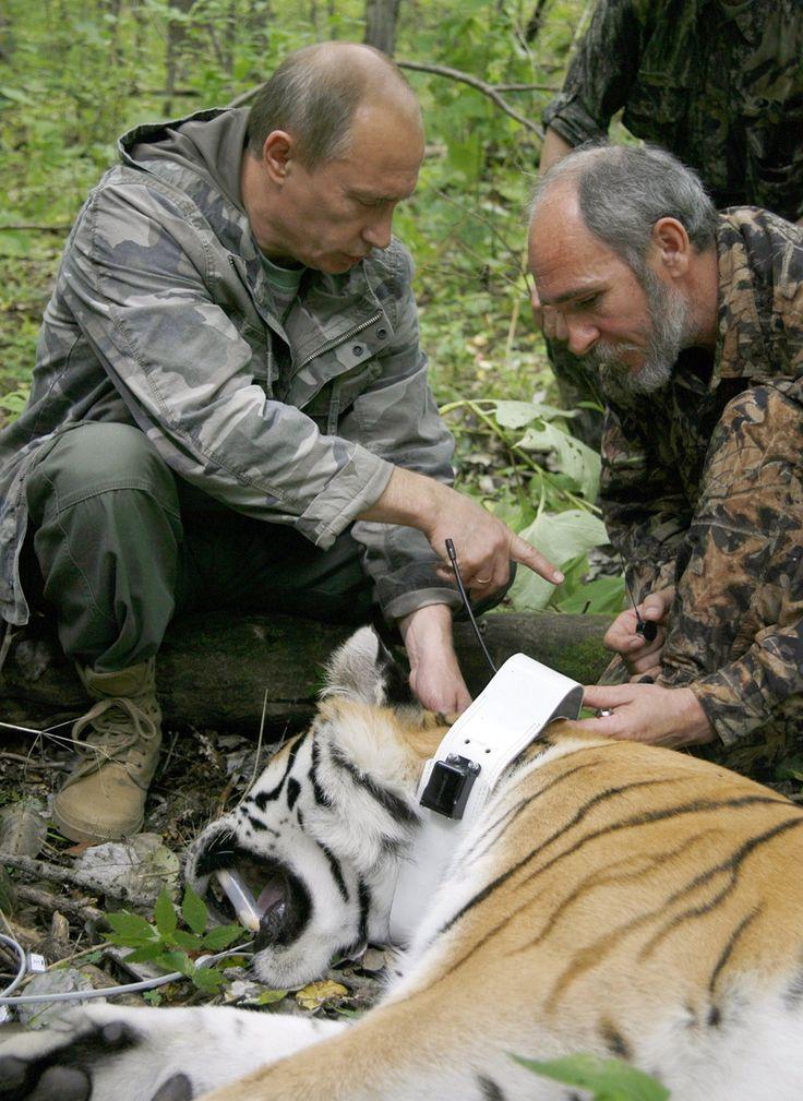 Tiger loving Putin