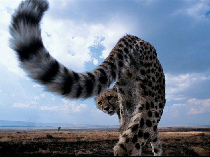 Cheetah: Photos, Wild Animal, Cheetahs, Animals, Big Cats, Nature, Bigcats, Wild Cats, Photography