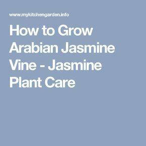 How to Grow Arabian Jasmine Vine - Jasmine Plant Care