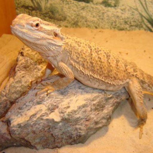 Using programmable timers for Bearded dragon lighting Using programmable electric timers can give much better control of the lighting of an enclosure and improve the overall experience of Bearded dragon. http://www.beardeddragons.co.za/using-programmable-timers-for-bearded-dragon-lighting/