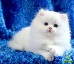 Resultado de imagen de gatos persas