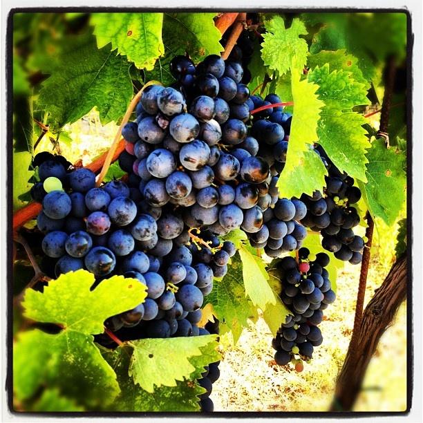 #conero #rivieradelconero #tourism #italy #vacanze #food #wine www.conero.info   www.rivieradelconero.info  https://www.facebook.com/rivieraconero  #rossoconero