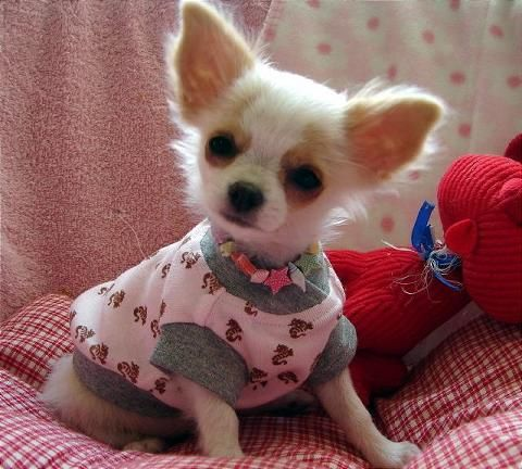 Teacup Chihuahua Puppies | Extremely Cute Teacup Chihuahua Puppies for Xmas
