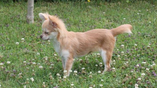 chihuahua poil long beige